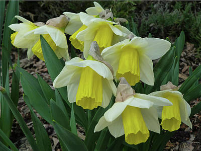 Photograph - D07609-dc Daffodils by Ed Cooper Photography