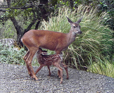 Photograph - D2b6314 Fawn And Deer Mom by Ed Cooper Photography