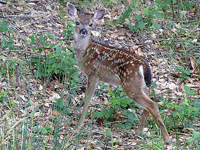 Photograph - D2b6334 Baby Deer Fawn by Ed Cooper Photography
