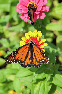 Photograph - D4m-33 Butterfly On Flower by Ohio Stock Photography