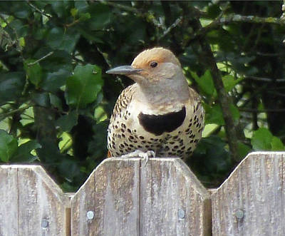 Photograph - D6b6328 Flicker Bird On Sonoma Mountain by Ed Cooper Photography