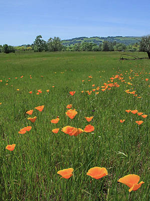 Photograph - D6b6383 California Poppies by Ed Cooper Photography