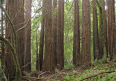 Photograph - D6b6389 Redwood Grove Jack London State Park by Ed Cooper Photography