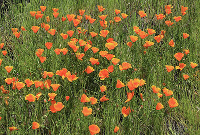 Photograph - d7b6307 California Poppies by Ed Cooper Photography