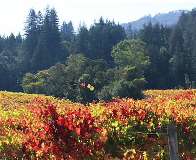 Photograph - D8b6309 Fall Colors In Jack London Vineyard by Ed Cooper Photography