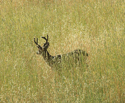 Photograph - D8b6337 Mule Deer Buck In Field Ca by Ed Cooper Photography