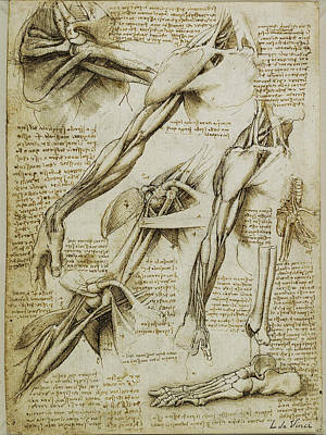 Monotone Drawing - Da Vinci Man Right Arm And Shoulder Anatomy By Da Vinci by Tony Rubino