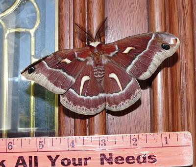 Photograph - Da0008 Cecropia Moth On Sonoma Mountain by Ed Cooper Photography