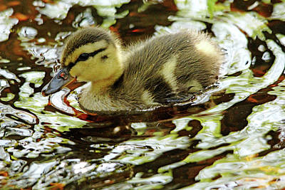 Photograph - Dabbling Duckling by Debbie Oppermann
