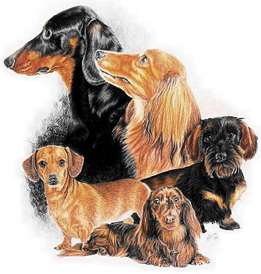 Drawing - Dachshund Collage by Barbara Keith