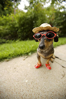 Dog Close-up Photograph - Dachshund In Sunglasses, Straw Hat by Gillham Studios
