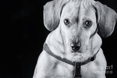 Photograph - Dachshund Lab Mix by Stephanie Hayes