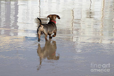 Photograph - Dachshund On A Beach by PJ Boylan