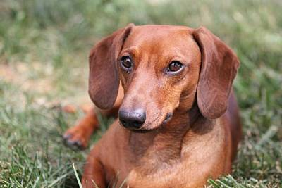 Photograph - Dachshund Portrait by Connie Kogler