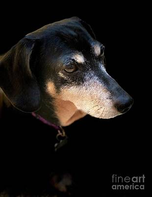 Photograph - Black And Tan Dachshund Portrait by Susan Garren