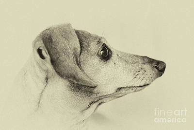 Photograph - Dachshund Portrait by Toula Mavridou-Messer