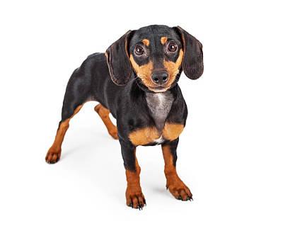 Dachshund Puppy Dog Standing Lookng Forward Art Print by Susan Schmitz