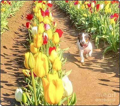 Photograph - Dachshund Tulip Run by Susan Garren