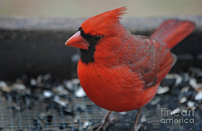 Cardinals. Wildlife. Nature Photograph - Daddy Cardinal  by Skip Willits