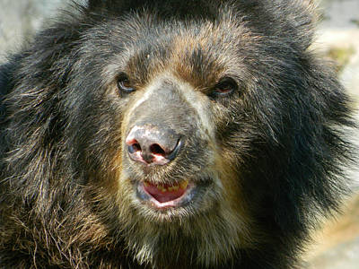 Photograph - Daddy Cisco The Andean Bear by Emmy Vickers