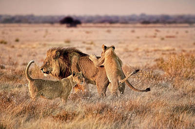 Photograph - Daddy Lion And The Boys Playing by Kay Brewer