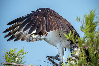 Photograph - Daddy Osprey On Guard by Donald Brown