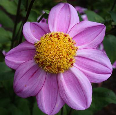 Photograph - Dad's Favorite Dahlia by Bruce Bley