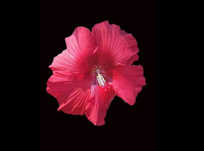 Photograph - Dads Hibiscus by Dennis Buckman