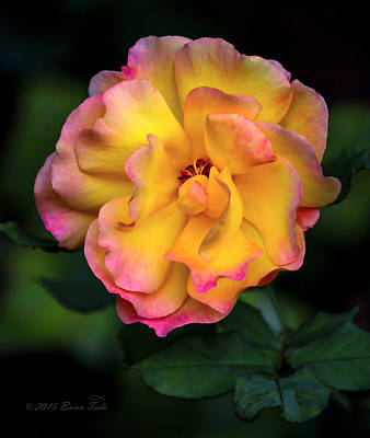 Sean Rights Managed Images - Dads Rose Royalty-Free Image by Brian Tada
