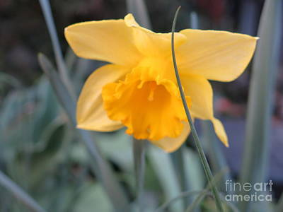 Photograph - Daffodil by Rod Ismay