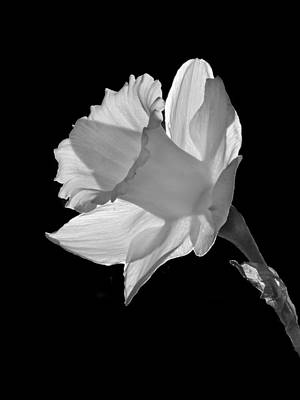 Photograph - Daffodil - 365-23 by Inge Riis McDonald