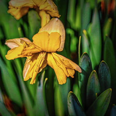 Photograph - Daffodil Among Green #h4 by Leif Sohlman