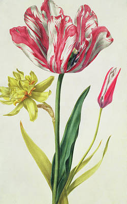 Variegated Painting - Daffodil And Tulip by Nicolas Robert