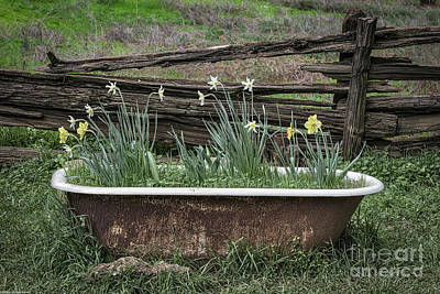 Photograph - Daffodil Bathtub by Mitch Shindelbower