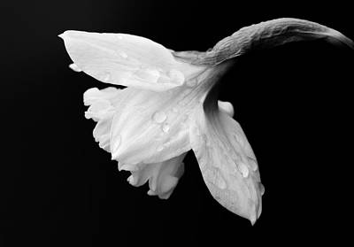 Photograph - Daffodil Black And White  by Garvin Hunter
