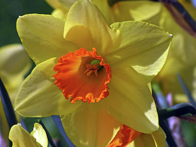 Mixed Media - Daffodil Brilliance  by Lynda Lehmann