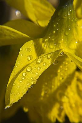 Spring Bulbs Photograph - Daffodil Dew by Teresa Mucha