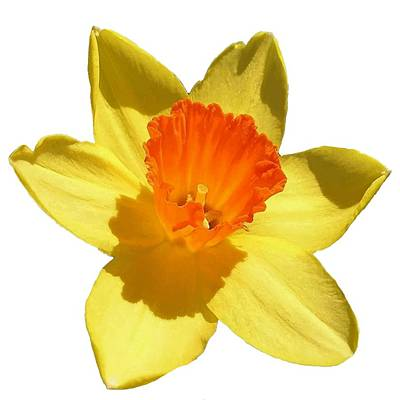 Photograph - Daffodil Emblem Isolated On White by Tracey Harrington-Simpson