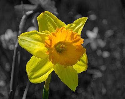 Daffodil Art Print by Eric Harbaugh