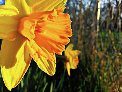 Fantasy Royalty-Free and Rights-Managed Images - Daffodil Evening by Robert Knight