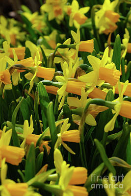 Photograph - Daffodil Family by Jennifer White