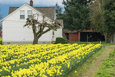 Photograph - Daffodil Farm House by Tom Cochran