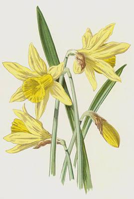 Daffodil Wall Art - Painting - Daffodil  by Frederick Edward Hulme