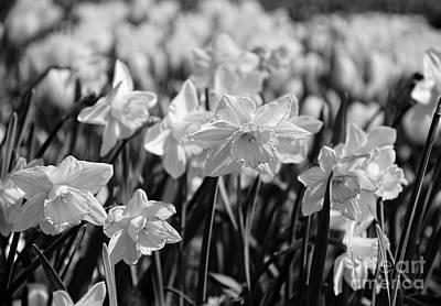 Photograph - Daffodil Glow Monochrome By Kaye Menner by Kaye Menner