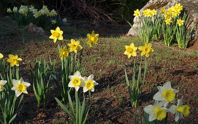 Photograph - Daffodil Hill by Kevin Bohner