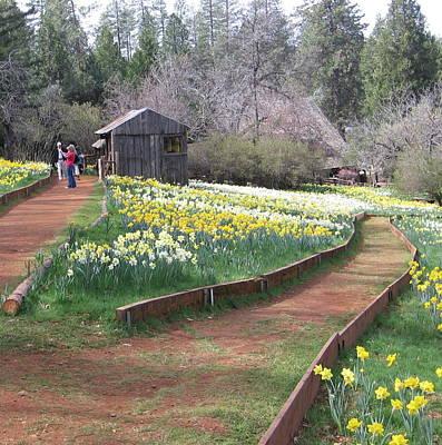 Photograph - Daffodil Hill Pathway by Karen J Shine