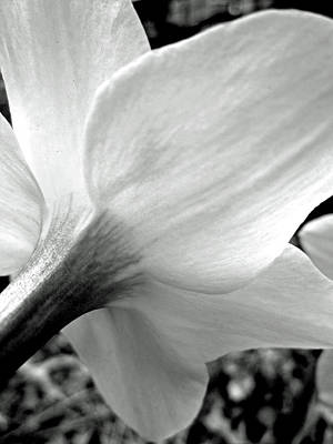 Flower Photograph - Daffodil In Black And White by Sandy Taylor