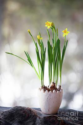 Photograph - Daffodil by Kati Molin