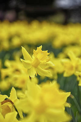 Photograph - Daffodil by Kuni Photography