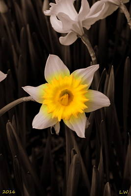 Photograph - Daffodil by Lisa Wooten